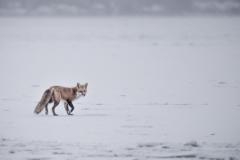 fox-on-ice-bfdb8bc4a61e7e519dd17a8f519be008a2287944