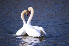 swan-love-crop-8x10-7d842bd3d6430d6930725e7ab3b4e73e57e28900