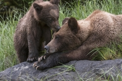 william-bickle-grizzly-bear-mom-and-cub-dsc_4500-shrp-867a6c98f27b8e996f07b412ec991db6cf6688e8