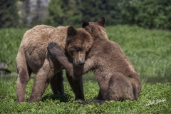 william-bickle-grizzly-cubs-showing-affection-_8425-608da046ab936d90d34f2b446ee8be5a67744ce1