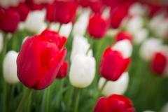 city-hall-tulips__17a0477_by_mike-gaudaur-22a7af9b184a0b86c4d917aa678762118e0aa51f