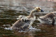 algonquin-goose-baby_01-864627d5b7ccd0af99c4b3bc6e93ca2ad958a1e6