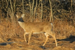 deer-3-63182c19eed270ac36bd99aa1da05e58856b8610