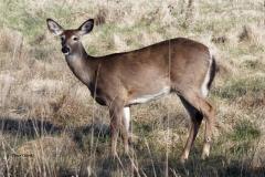 deer-c56b75d94ec53be4970432777681de6103b622f1