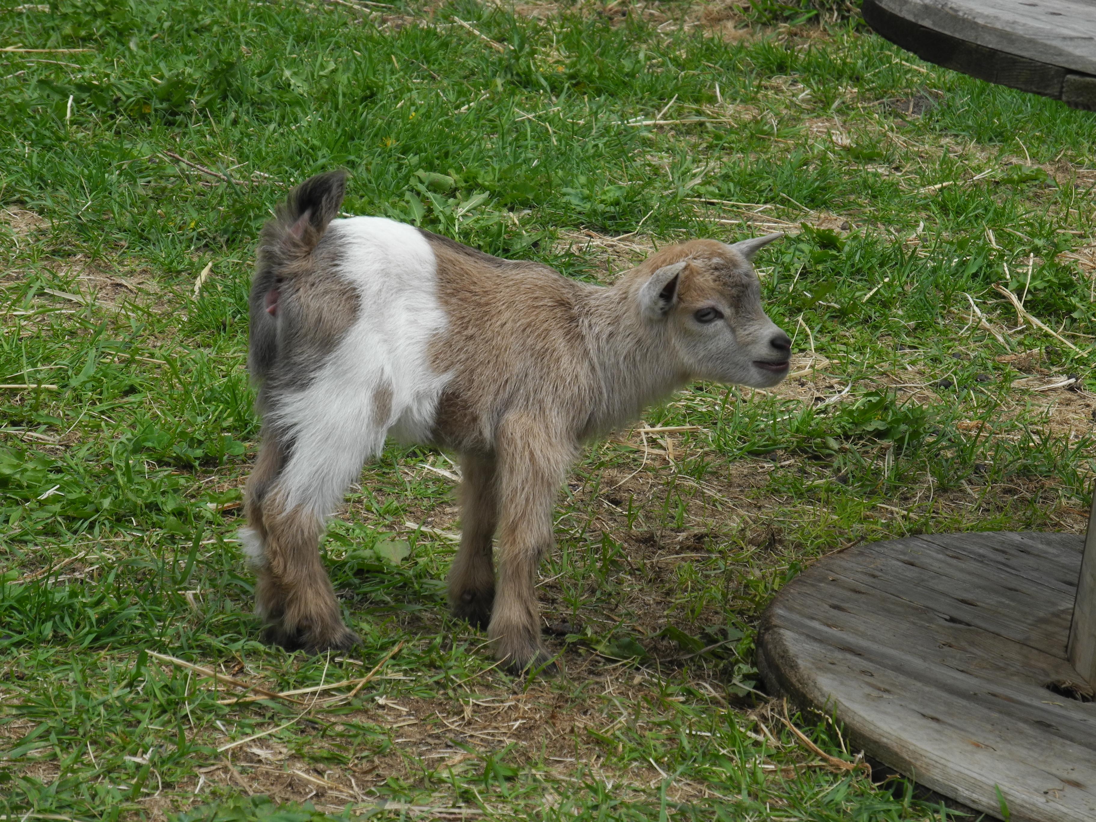 BPG Haute Goat & Primitive Designs Field Trip